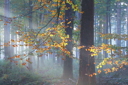 Photo for sunbeams in colorful misty autumn forest - Royalty Free Image
