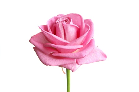 Photo for pink rose bud on white - Royalty Free Image