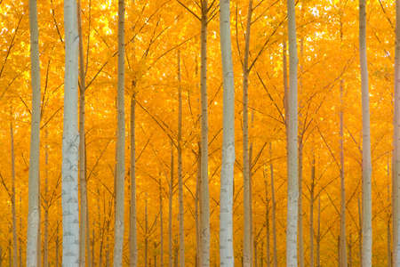 Photo pour A stand of trees begins to weather the fall cold  - image libre de droit