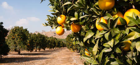Photo for Good sun is one of the keys to a productive orange grove - Royalty Free Image