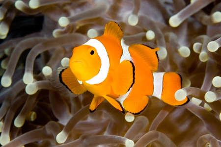 a clown anemonefish swimming in the tentacles of its host anemone, underwater.