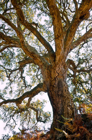 Centenarian cork tree with large trunk and and thick bark