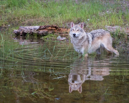 Photo pour Tundra Wolf in Water with a Beautiful Reflection and Expanding Circular Ripples - image libre de droit