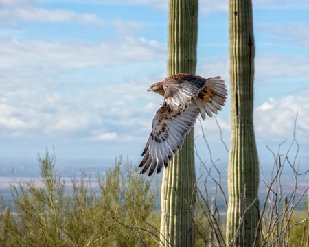 Photo pour Ferruginous Hawk in Flight across the Arizona Desert - image libre de droit