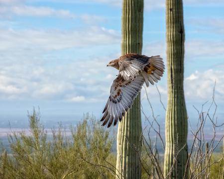 Foto de Ferruginous Hawk in Flight across the Arizona Desert - Imagen libre de derechos