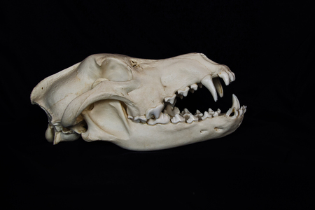 Photo pour Wolf Skull with Large Fangs in Opened Mouth Isolated on a Black Background - image libre de droit