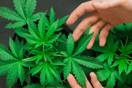 Photo pour Marijuana leaves, cannabis on a dark background, beautiful background, indoor cultivation - image libre de droit