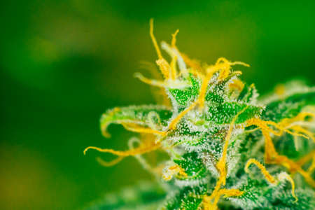 Photo pour Macro shot with sugar trichomes cbd thc, concepts of grow and use of marijuana for medicinal purposes. Concepts legalizing weed Beautiful buds before. cannabis grow indoor - image libre de droit