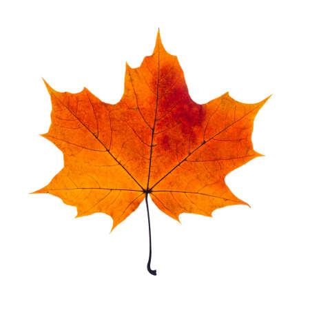Photo pour autumn fallen maple leaf isolated on white background - image libre de droit