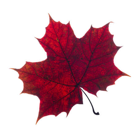 Photo pour autumn fallen maple leaf isolated on white background - image libre de droit