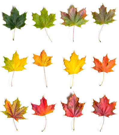 Foto de autumn fallen maple leaves collection from green to red, isolated on white background - Imagen libre de derechos