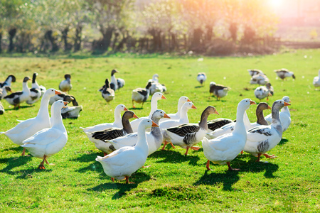 Photo for The herd of white adult geese grazing at the countryside on the farm on a green grove. - Royalty Free Image