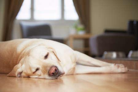 Photo pour Yellow labrador retriever is waiting at home   - image libre de droit