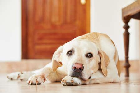 Foto de Labrador retriever is lying on the floor at home. - Imagen libre de derechos