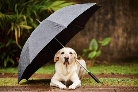 Foto de Labrador retriever in rain is waiting under umbrella. - Imagen libre de derechos