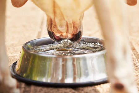 Thirsty yellow labrador retriever is drinking water from bowl