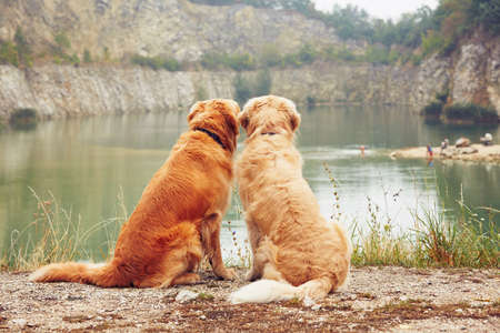 Photo pour Lake for swimming. Two golden retriever dogs in old stone quarry. - image libre de droit