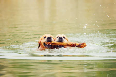 Foto de Two golden retrievers dogs are swimming with stick. - Imagen libre de derechos