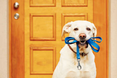 Photo for Labrador retriever with leash  is waiting for walk. - Royalty Free Image