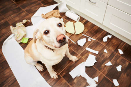 Photo for Naughty dog - Lying dog in the middle of mess in the kitchen. - Royalty Free Image