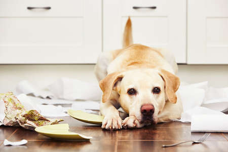 Foto de Naughty dog - Lying dog in the middle of mess in the kitchen. - Imagen libre de derechos