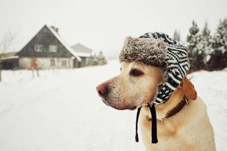 Foto de Labrador retriever with cap on his head in winter - Imagen libre de derechos