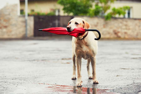 Foto de Obedient dog in rainy day. Adorable labrador retriever is holding red umbrella in mouth and waiting for his owner in rain. - Imagen libre de derechos