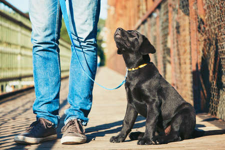 Photo for Morning walk with dog (black labrador retriever). Young man is training his puppy walking on the leash. - Royalty Free Image