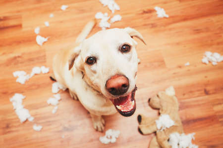 Photo pour Naughty dog home alone - yellow labrador retriever destroyed the plush toy and made a mess in the apartment - image libre de droit