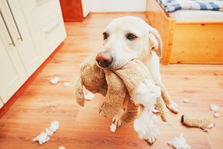 Photo for Naughty dog home alone - yellow labrador retriever destroyed the plush toy and made a mess in the apartment - Royalty Free Image