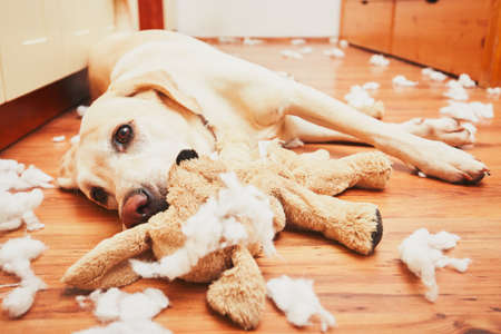 Foto de Naughty dog home alone - yellow labrador retriever destroyed the plush toy and made a mess in the apartment - Imagen libre de derechos