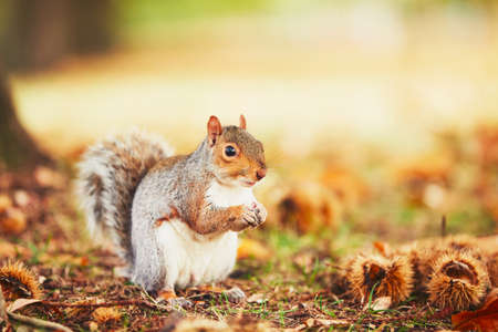 Photo pour Cute and hungry squirrel eating a chestnut in autumn scene. Hyde park, London, United Kingdom - image libre de droit