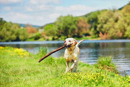 Photo for Dog after swimming in the river. Happy labrador retriever running with stick on the meadow. - Royalty Free Image