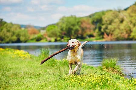 Foto de Dog after swimming in the river. Happy labrador retriever running with stick on the meadow. - Imagen libre de derechos