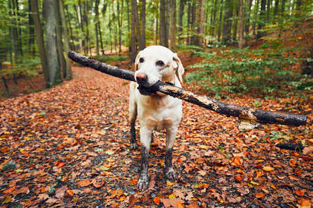 Photo for Muddy dog in autumn nature. Dirty labrador retriever with stick in mouth walking on the footpath in the forest. - Royalty Free Image