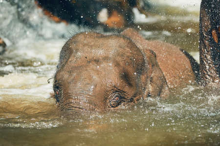 Photo for Young Asian Elephant playing in the river. Tropical rainforest in Chiang Mai Province, Thailand.  - Royalty Free Image