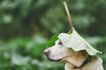 Photo for Rainy day with dog in nature. Labrador retriever hiding head under leaf of burdock in rain. - Royalty Free Image