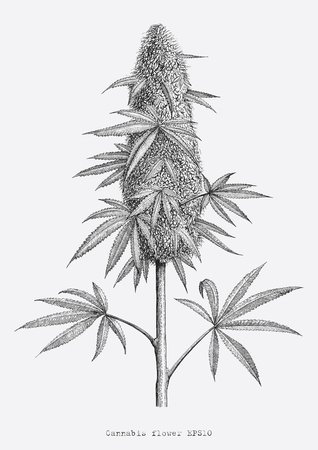Illustration pour Cannabis flower hand drawing vintage engraving style isolate on white background - image libre de droit