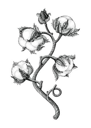 Ilustración de Cotton plant hand drawing vintage engraving style isotale on white background - Imagen libre de derechos