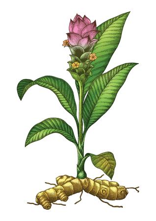 Ilustración de Tumeric botanical hand drawing engraving vintage illustration - Imagen libre de derechos