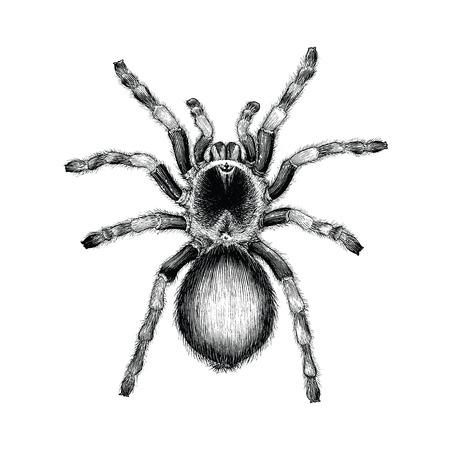 Ilustración de Tarantula spider hand drawing vintage engraving illustration,Tarantula spider tattoo design - Imagen libre de derechos