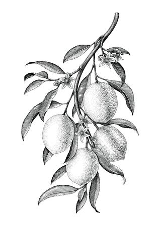 Ilustración de Lemon branch illustration black and white vintage clip art isolate on white background - Imagen libre de derechos