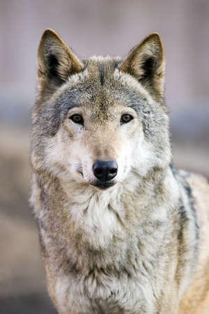 Photo pour Wolf - image libre de droit