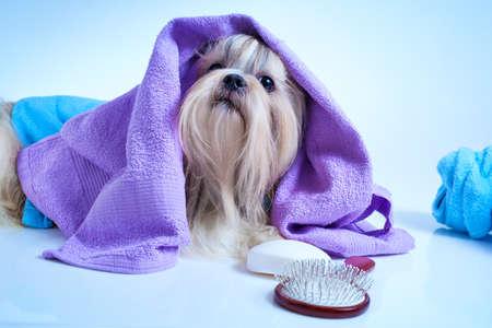 Foto de Shih tzu dog after washing. With bathrobe, towels and comb. Soft blue background tint. - Imagen libre de derechos