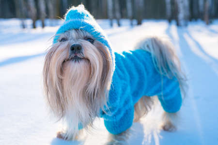 Photo pour Shih tzu dog in blue knitted sweater winter outdoors portrait - image libre de droit