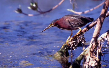 Foto de Green Heron  (Butorides virescens) Fishing here in this Louisiana swampy area, USA - Imagen libre de derechos