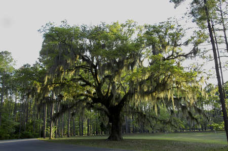 Photo for Live Oak trees with Spanish Moss.  A common sight in the Southern States, magnificent old oak trees here in South Carolina - Royalty Free Image