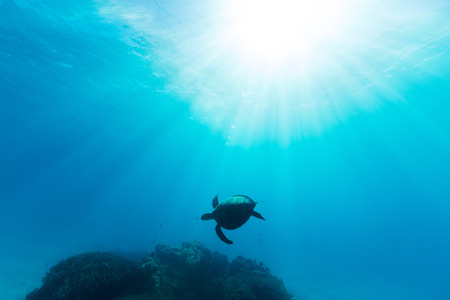 Foto de A sea turtle is illuminated by beautiful ethereal sun light as it swims through pristine blue water on the Great Barrier Reef. - Imagen libre de derechos
