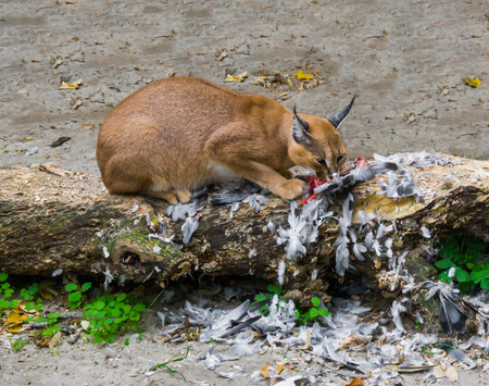 Photo pour caracal a desert lynx eating its hunted bird prey on a tree trunk with feathers all over the place, a wildlife portrait of a big wild cat - image libre de droit