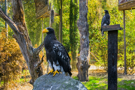 Photo pour stellers sea eagle sitting on a rock with another sea eagle in the background, threatened bird of prey from japan - image libre de droit